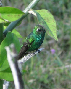 Male Emerald Hummingbird ( photo by Lyn Roger)