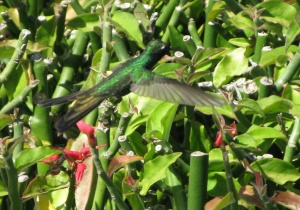 Humming bird at the Bay of Pigs (photo by Lynn Roger)